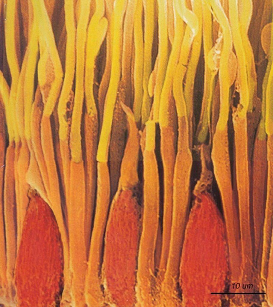 Micrographie électronique à balayage de bâtonnets et cônes dans la rétine d'un primate